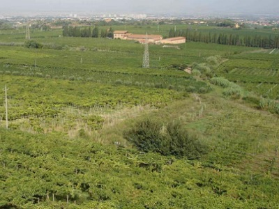 Vineyards near Frascati, Italy